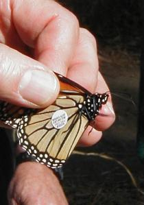 Biologists discovered a rare breed of Monarch butterfly in northern California recently.  The insect has an unusual tag embedded in its wings that points toward a 1930's origin, perhaps, based on the tag's inscription which reads, 'Drink Coca-Cola for a taste that always refreshes, never cloys.'  (Associated Press)