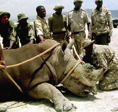 Kenya Sheriff's Police apprehend a rhino in the suburb of Lake Nakuru in the heart of Kenya's scenic Rift Valley following a multi-county high speed chase in which the rhino had commandeered a Range Rover.  The suspect drove for nearly ninety minutes at speeds over 100 miles per hour before running out of gas, and will be charged with felony carjacking and several misdemeanors.  (Associated Press)