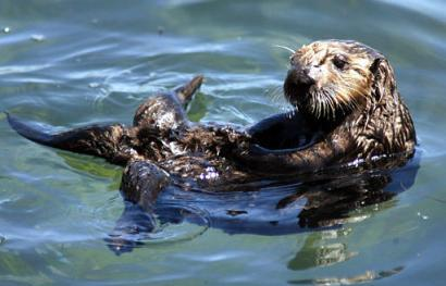 A wild sea otter floats on its back in a tide pool in Monterey Bay near Monterey, Calif., yesterday. A sea otter eradication plan formally released in January was praised by recreationists and sportsmen as long overdue after 16 years of delays and false starts. It's been 21 years since the previous such plan was presented. The plan includes hunting, trapping, shooting, and poisoning the furry little nuisances in order to reduce entanglements with boat motors and fishing gear. (Associated Press)