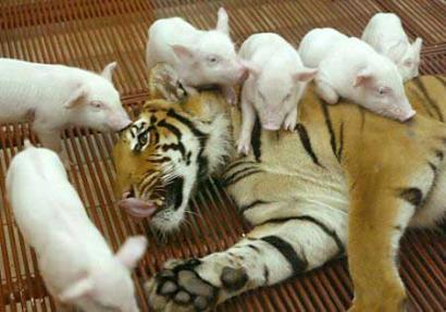 This Royal Bengali tigress is attacked by 6 baby pigs during a bizarre 'animal rite of passage'.  The tiny piglets only held the element of surprise for 5 seconds, after which the tigress promptly finished them off.