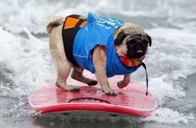 A two-year-old Pug named Bentley rides a wave as he competes in the 20lbs and under heat at the 4th annual Helen Woodward Animal Center 'Surf Dog Surf-A-Thon' at dog beach in Del Mar, California September 13, 2009. The event helps raise awareness and money for orphaned pets while promoting responsible pet ownership.  Bentley and the board were later swallowed whole during a shark attack, which organizers admit was not representative of responsible pet ownership.