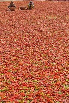 Kashmiri women sort red chiles for drying on a sunny autumn day in Srinagar.  Kashmirins have taken to a diet of 100% red chiles, leading to toilet paper shortages and rectal difficulties beyond the capabilities of local medical experts.  (Reuters)
