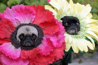 (Reuters) - Researchers in Germany have created the first pug-geranium genetic hybrid animal.  Field trials with consumers have determined that 'they are still ugly dogs.'