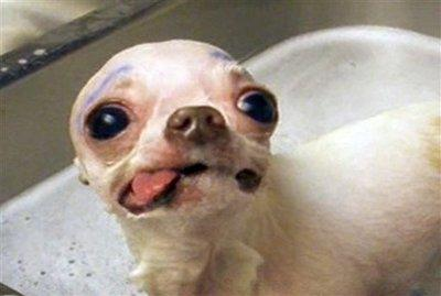 This photo of a Chihuahua is being used by PETA as part of a campaign to rid the world of truly ugly dog breeds, according to spokesperson Molly DuCovener.  'The ugly ones ruin it for the beautiful breeds, the kind that curry favor among both dog lovers and the indifferent,' she stated.  DuCovener would not comment on other targeted breeds, but did admit that the Chihuahua was 'the best place to start.'  (Associated Press)
