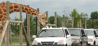 (Reuters) - In this August 2008 photo provided by African Safari Wildlife Park, a giraffe leans over the sun roof of a car to take some food from a visitor at African Safari Wildlife Park in Port Clinton, Ohio.  After eating four bean burritos and a side of Nachos from Taco Bell, the giraffe was rushed to the local vet complaining of stomach pains and acid reflux.