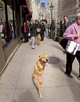 This photo released by Anthony M. Tortoriello shows Faith, a two-legged dog, walking down Michigan Avenue in Chicago to the wonderment of passers-by.  Faith, who had actually lost her two back legs in a mowing accident three years ago, had her front legs surgically transferred to her hind quarters when the constant dragging process began to wear on her.  Her owner said the change was necessary, but that Faith misses being able to sit at the computer and type.  (Associated Press)