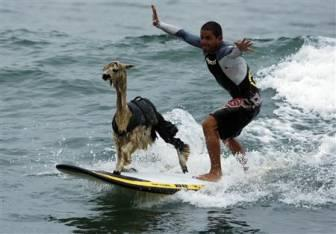 Peruvian surfer Domingo Pianezzi attempts to scare an alpaca from his surfboard at San Bartolo beach in Lima. Surfers at the beach have had problems over the years with wild animals hitching rides to the shore on their boards, but this is the first time an alpaca has been reported in this position.  (REUTERS)