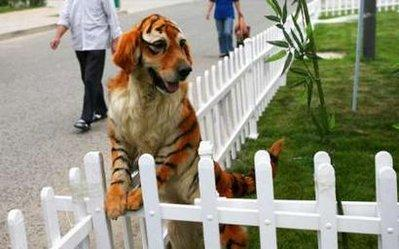 California officials have confirmed rumors that a UCLA geneticist has successfully cross-bred a Golden Retriever with a tiger to create an animal that is 'wonderful with children and will definitely keep intruders out of the yard.'  (Associated Press)