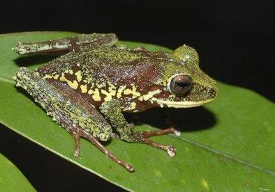 A Photo provided by Conservation International shows a newly discovered frog in Papua New Guinea. It was discovered during Conservation International's two Rapid Assessment Program surveys. The frog is a nasty looking, yellow-spotted species that belongs to a group of frogs that lay their eggs on land or in the trees where they hatch directly into little froglets, and they have no tadpole stage. 'Great story, ugly beast,' stated People for the Unethical Treatment of Animals (PUTA) president Greg Tebbins, 'but we are already hard at work laying poisons that will eradicate this unnecessary and unpleasant creature from our world,' he said.  Officials believe it could be extinct within six months at minimal cost.  (Associated Press)