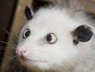 A cross-eyed opossum is pictured as she sits in her enclosure at the zoo in Leipzig, eastern Germany. In the wild, a crosseyed animal would not have much chance for survival. In captivity, however, the animal is mercilessly jeered by both zoo patrons and other animals and has been on suicide watch since July of 2005, zoo officials disclosed recently.  (Associated Press)