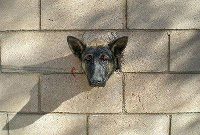 This handout from Riverside County Animal Services (RCAS) in California shows a German shepherd named Rebel after he managed to smash his head through a cinderblock wall on December 27 while chasing after a rubber ball thrown by his owner, Jason Garland. Rebel was rescued and only suffered minor injuries from nudging back through the hole with the help of two RCAS officers.  (Associated Press)