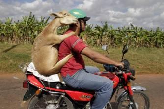 The Florida State Supreme Court recently struck down the motorcycle helmet law for livestock as it relates to those which 'are passengers on a two or three-wheeled motor vehicle piloted by a helmeted human being in a safe and prudent manner,' the court said. Shown are Shawn Tasker and his lamb, Sheba, of Ponte Verde Beach during a recent joyride.  (Associated Press)