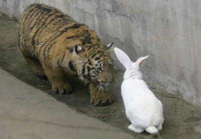This frame grab from the upcoming Discovery Channel documentary, 'Bad Time To Be A Rabbit,' depicts a very bad time to be a rabbit, in fact, as a hungry tiger cub gets ready to do what comes natural to the pair in situations like these.  (Associated Press)