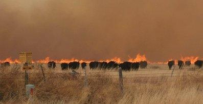 In this April 9, 2011 photo, a heard of cattle run from a fire they started near Marfa, Texas. 'After all these years, we never considered that the animals themselves may have been involved,' stated Charles Wilcott, National Forestry Chairman, 'but newly available satellite imagery confirms the farmers' claims that cows like to mix it up a little.'  (Associated Press)