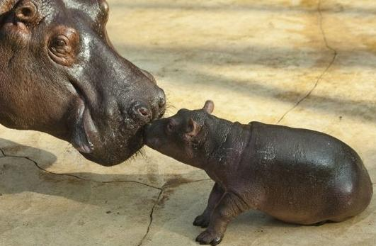 A hippo cub touches its mother Nicole during the first public presentation at the Zoo in Berlin, Tuesday, Nov. 1, 2011. The cub, which is missing its back legs, was devoured whole just seconds later by the mother. 'It would have been a difficult, perhaps impossibly so, life for the cub, so this is what is best,' stated Zookeeper Dieter Hoffhaus.  (REUTERS)