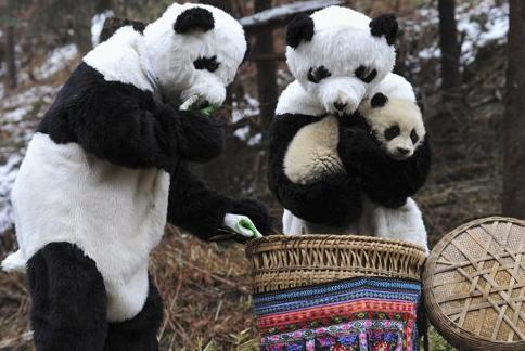 A surveillance camera at the Wolong National Nature Reserve in Sichuan Province, China, captures an image of two people dressed as adult pandas as they steal a prized baby panda from a basket. Anyone with information relating to the theft, which is punishable by death in that country, is asked to call authorities at 1-115-22-810465-522641-616-459215-41-662. (REUTERS)