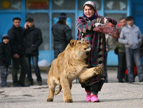 A woman walks a lion for security purposes in a mafia-run section of St Petersburg. Many of the locals have begun keeping dangerous pets in order to feel safe rather than carrying guns, which they may not be able to operate safely in case of trouble. 'You want my purse, take a try,' the woman said.  (REUTERS)