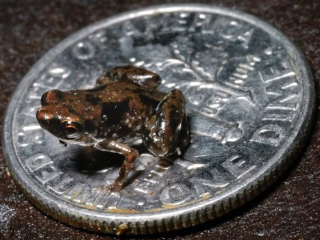 A prototype of the proposed new 'large dime' is shown beneath a frog recently. The dime, which is about the size of a dinner plate, would be minted at a single undetermined location in the US, but one which would be close to an 'established rail system for obvious reasons,' one official stated. 'The dime has long gotten the raw deal,' Treasury Department Deputy Marc Ashton stated, 'because it is the smallest of coins but certainly not the least of value--this coin changes all that.'  (Associated Press)
