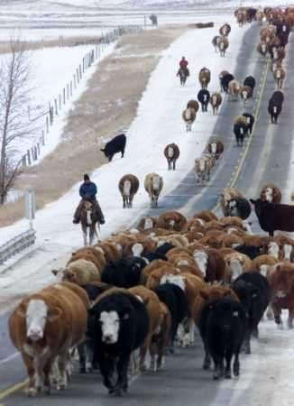 John Lamb (foreground) and his son Dustin Lamb, move 300 head of cattle along Alberta highway 566 near Balzac, December 31, 2002. The Lamb family and the Church family move the cattle 12 kilometres to the Lamb ranch north of Calgary and have been moving the cattle along the same route for the past 12 years. They began with 500 cattle in 1991, but many have died along the way due to the slow pace and dangerous roadside travel.