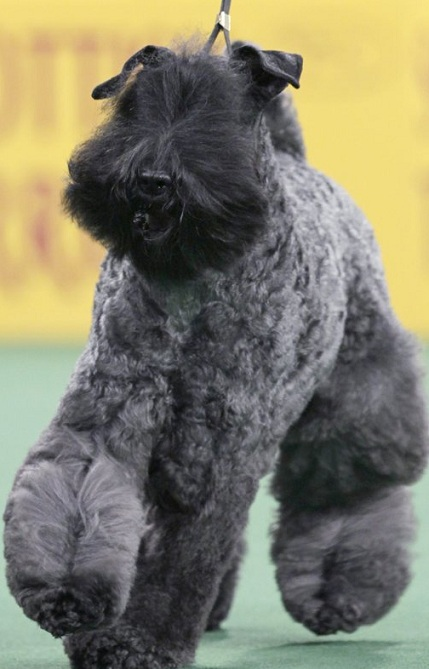 Despite being born with no eyes, a Kerry blue terrier named Chelsey is declared the winner of the terrier group at the 136th annual Westminster Kennel Club dog show in New York. 'It's sad, yes, but she is still a beautiful dog and deserving of this honor and recognition,' said handler Chris Tudor.  (Associated Press)