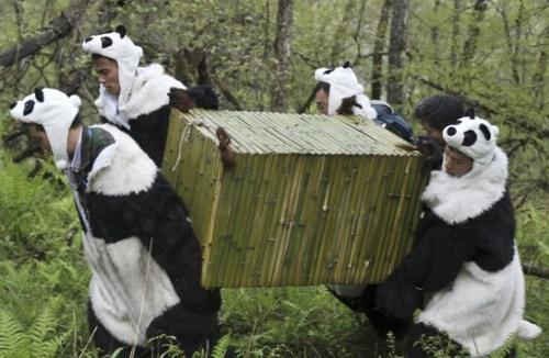 Researchers dressed in panda costumes carry a cage as they transfer giant panda Tao Tao to a new living environment at the Hetaoping Research and Conservation Center for the Giant Panda in Wolong National Nature Reserve. 'If we were moving a barracuda, we would dress like barracudas,' stated supervisor Li Cho Munh through an interpreter,'it's a very nice law and we like it this way in this country.' (REUTERS)