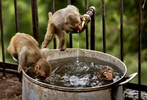 A couple of monkeys drink ass-water from another monkey that is stone-cold chillun' in a big ass pot. Although monkeys are just a few dna chunx away from human beings, it is an important distinction and difference that humans would never drink ass-water unless it was like Jennifer Aniston or someone like that. (Associated Press)